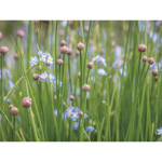 Chives and Forget Me Nots
