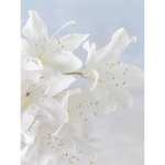 White Rhododendron Blossoms 1