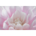 Untitled (Dahlia Pink)