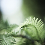 Huntington Fern