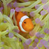 Western Clown Fish II