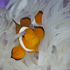 Western Clown Fish I